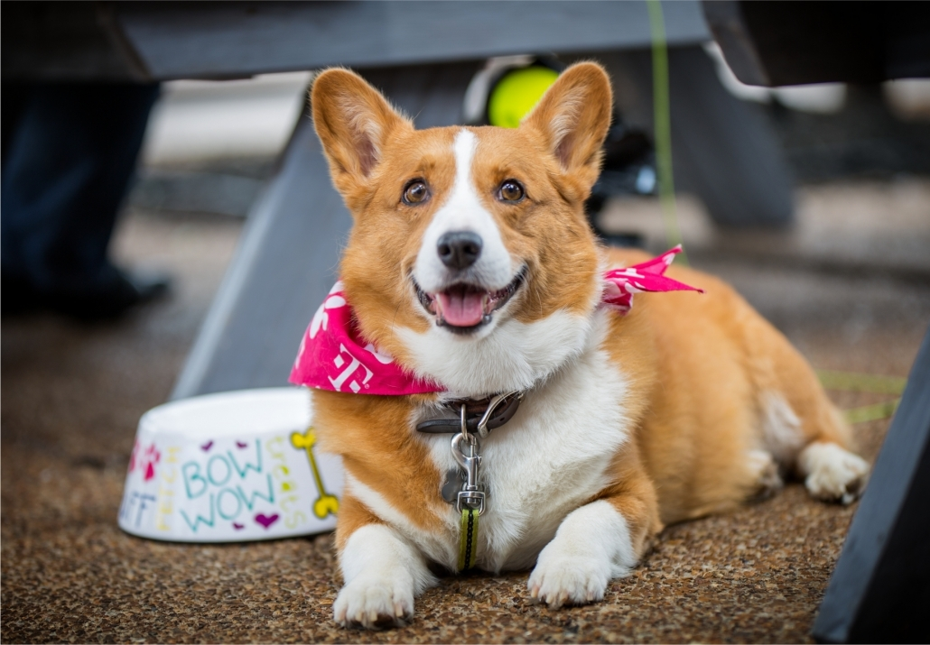 Pembroke Welsh Corgi Loki Lokizeecorgi Orange County California Summer Concerts 2018 Image and Photography by Rob Bonner